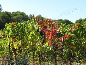 Champs de vigne qui se colorent...