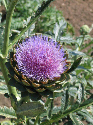 """Terme générique désigne de nombreuses espèces de plantes résineuses. Famille : Asteraceae (chardon, artichaut, cirse), Apiaceae (chardon-Roland, chardon blue). Souvent, ce sont des adventices ou des """"mauvaises herbes"""", mais ..."""