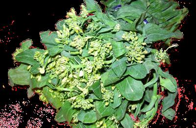 le colza nanohana