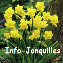 Groupes Jonquilles