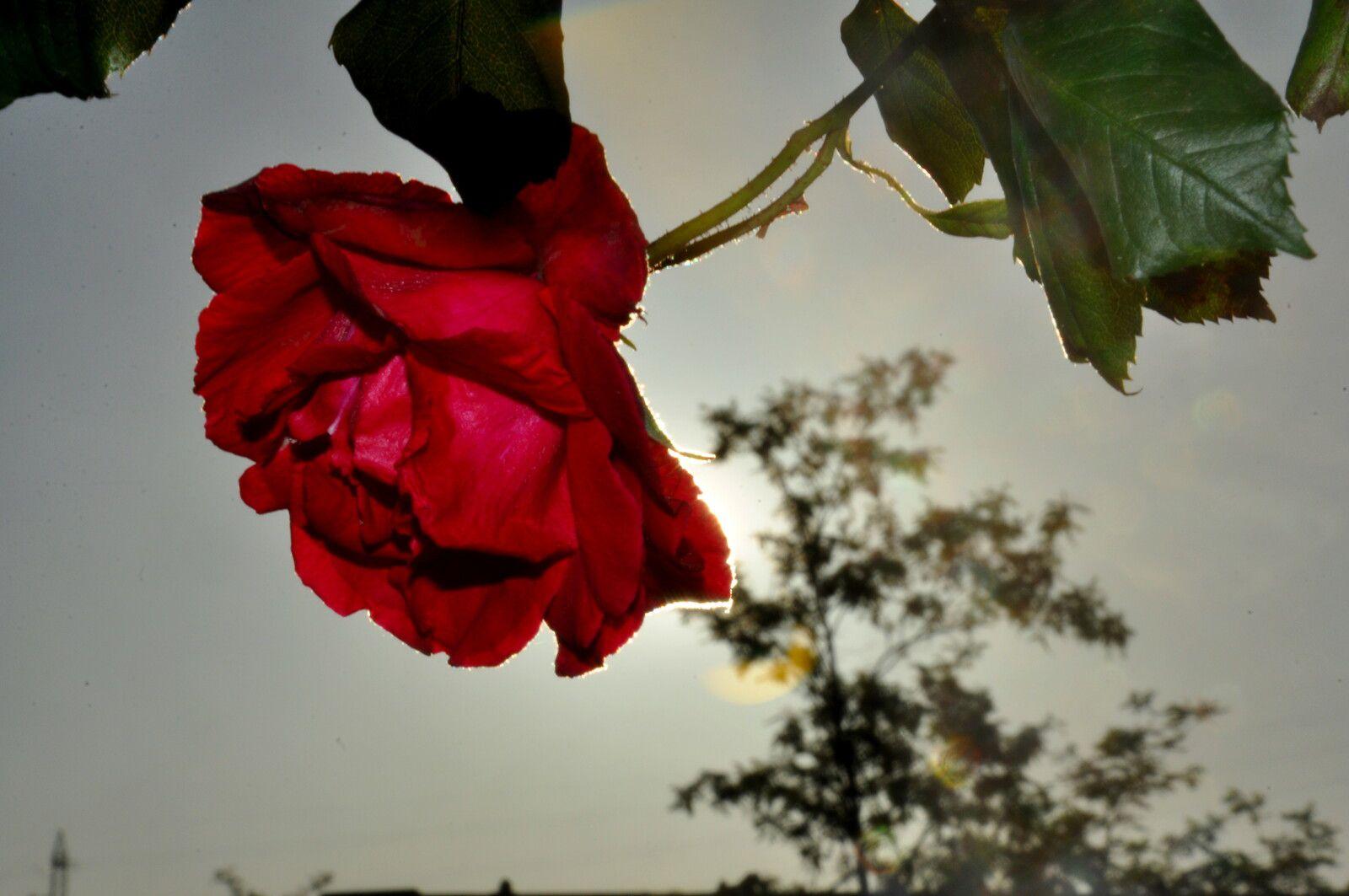 Une rose rouge.