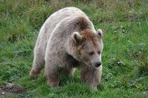 Nicolas Hulot veut réintroduire deux ours femelles dans les Pyrénées