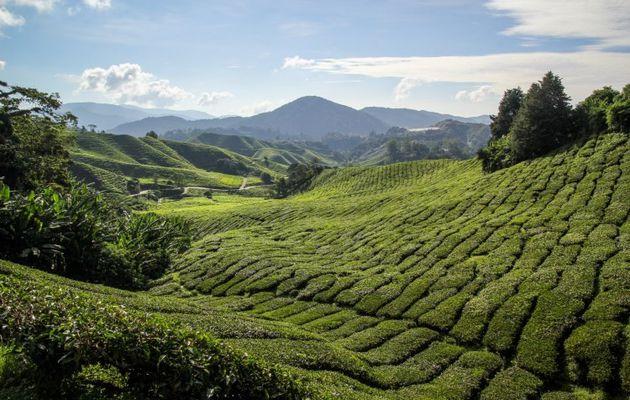 Malaisie : 4 jours dans les Cameron Highlands