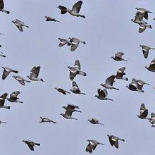 Nuisances occasionnées par les pigeons
