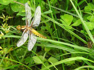 Sortie complète de l'exuvie et durcissement des ailes