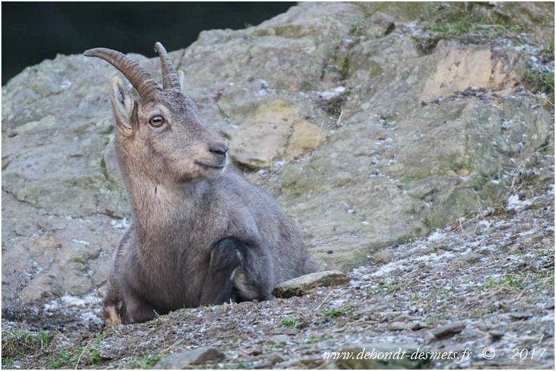 Durant la deuxième année, le mâle bouquetin est appelé éterlou et la femelle éterle.