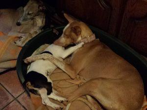Podenca de Lanzarote presque 3 ans à l'adoption en Haute Normandie chez sos chiens galgos