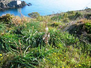 asphodèle                                            lilas d'Espagne-valériane                  orchidée rare en ces lieux