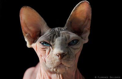 Portrait photo d'un Sphynx