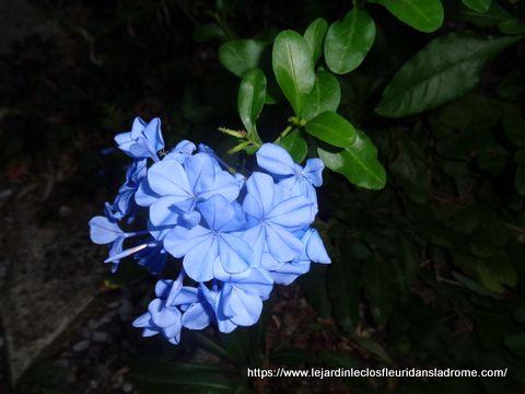 Le Plumbago auriculata ou Dentelaire du Cap est un arbuste semi-grimpant  sud-africaine est appréciée en climat doux pour sa longue et abondante floraison estivale et automnale en panicules de petites fleurs d'un bleu ciel clair et pur. Persitant en climat doux, cet arbuste sera totalement rabattu par le gel, repartant de la souche au printemps après avoir subi de brèves gelées de l'ordre de -8°C. A cultiver en plein soleil, dans un sol profond, fertile, frais à ponctuellement sec, sans excès de calcaire qui fait jaunir le feuillage.exubérant