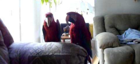 Deux perroquets fans d'AC/DC
