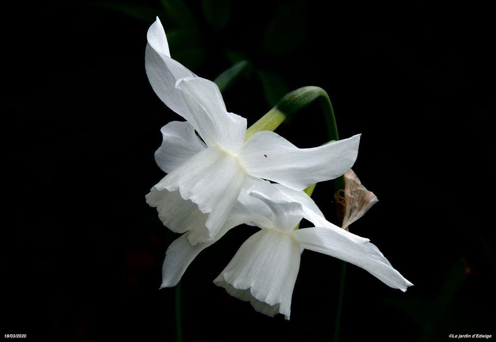 Narcisse triandrus 'Thalia' - narcissus triandrus 'Thalia'.