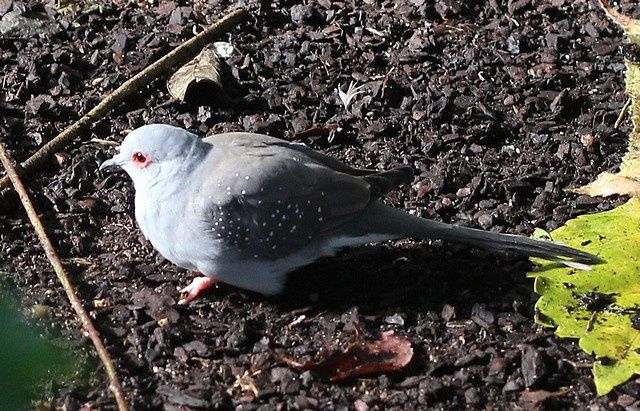 Album - oiseaux-colombins-gallinacés