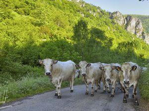Progression de la transhumance entre le village de La Fajole et le Col du Pradel.