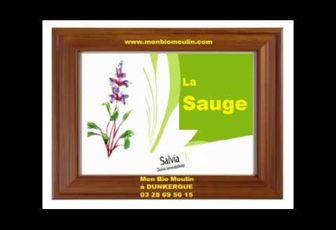 Sauge (Salvia)
