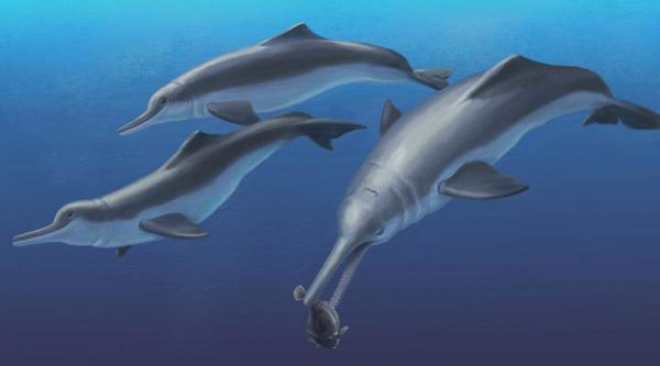 Smithsonian scientists and colleagues discovery a new genus and species of river dolphin that has been long extinct. The team named it Isthminia panamensis.