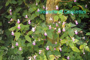 L'impatiens Balfouri, merveilleuse fleur de jardin de curé