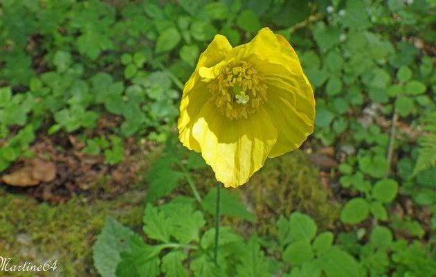 Le pavot jaune