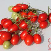 e2. Les tomates cerises - plaisir-jardin.com
