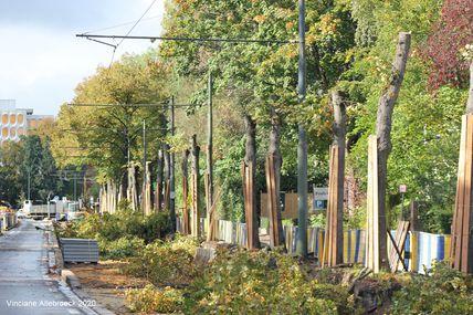 19 tilleuls abattus à Watermael-Boitsfort : des riverains expriment leur colère