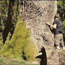 Chêne de Nerthe , Magescq ( Landes 40 ) AA Vidéo