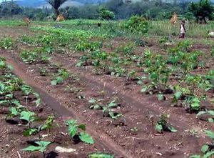 RDC :Les maraîchers de Mbudi-Lutendele