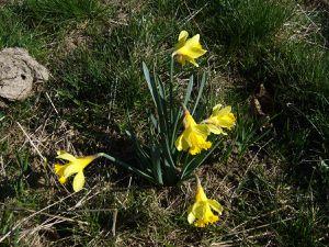 Jonquille, Narcissus pseudonarcissus