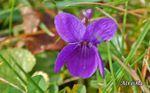 """Parfum de violette et """"Larmes de fleurs"""""""
