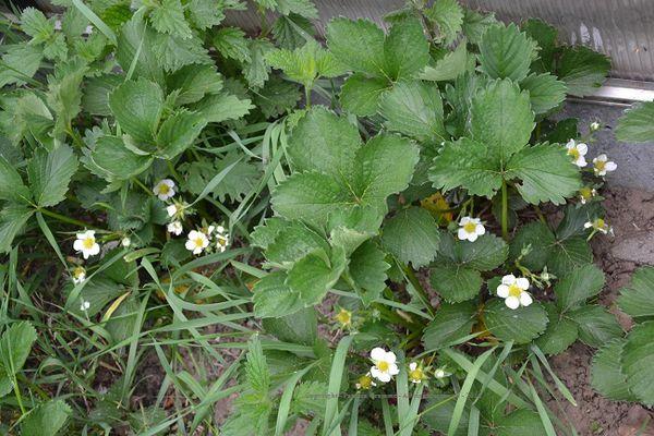 Des fraisiers au potager en permaculture