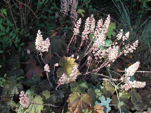 "Heuchera villosa ""Bronze beauty"""