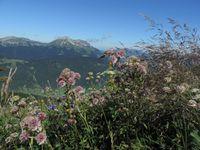 Dent d'Arclusaz, Prairie fleurie, Pierre Besse, Grande astrance, Campanule agglomérée, Centaurée scabieuse