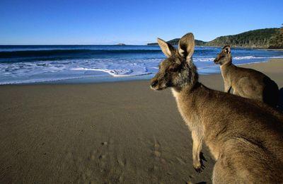 Animaux - Kangourous - Plage - Australie - Photographie - Wallpaper - Free