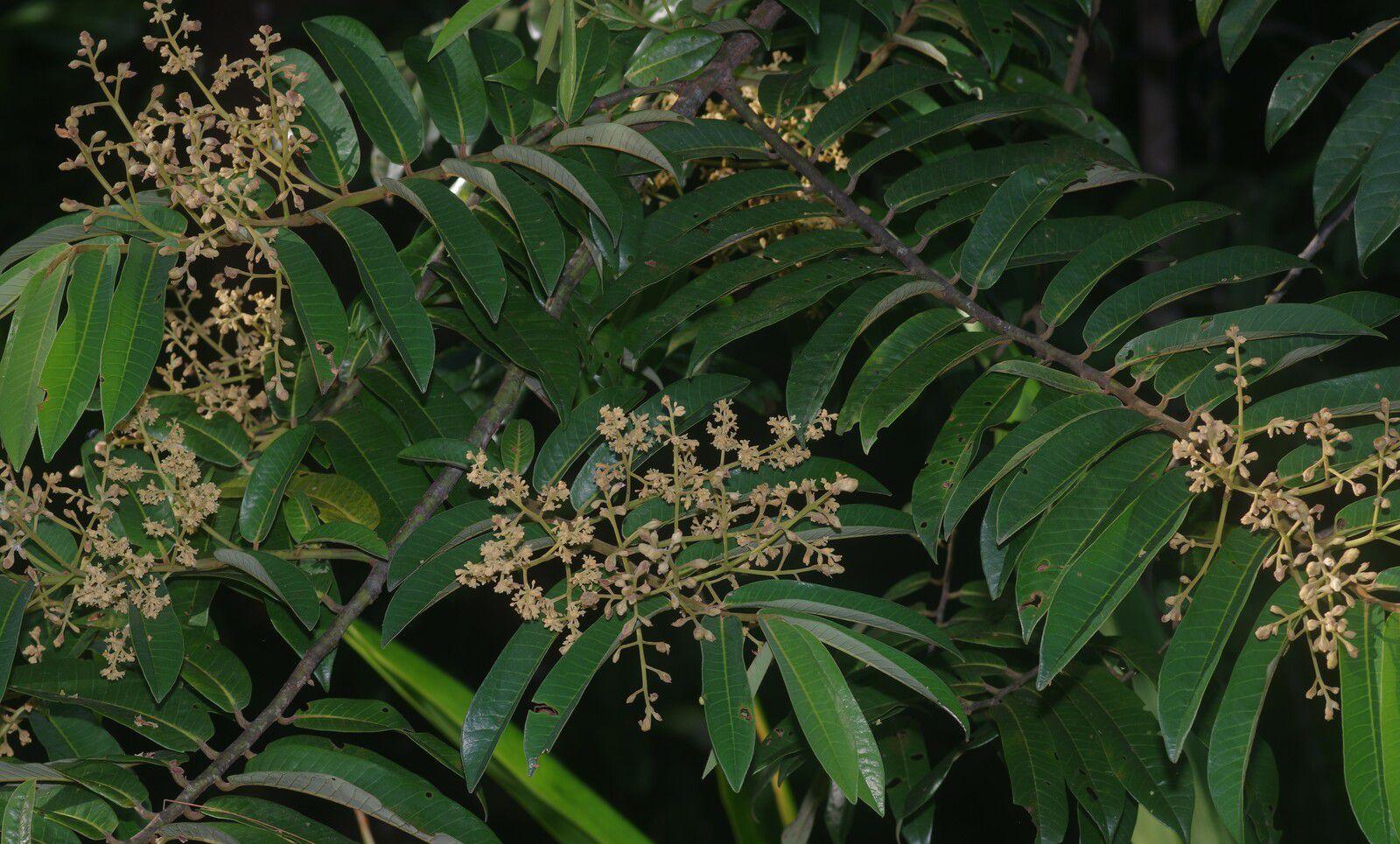 Virola surinamensis (yayamadou-marécage)