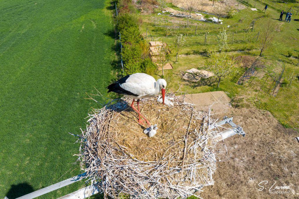 Naissance de cigogneaux en 2021 au jardin de l'Ermite