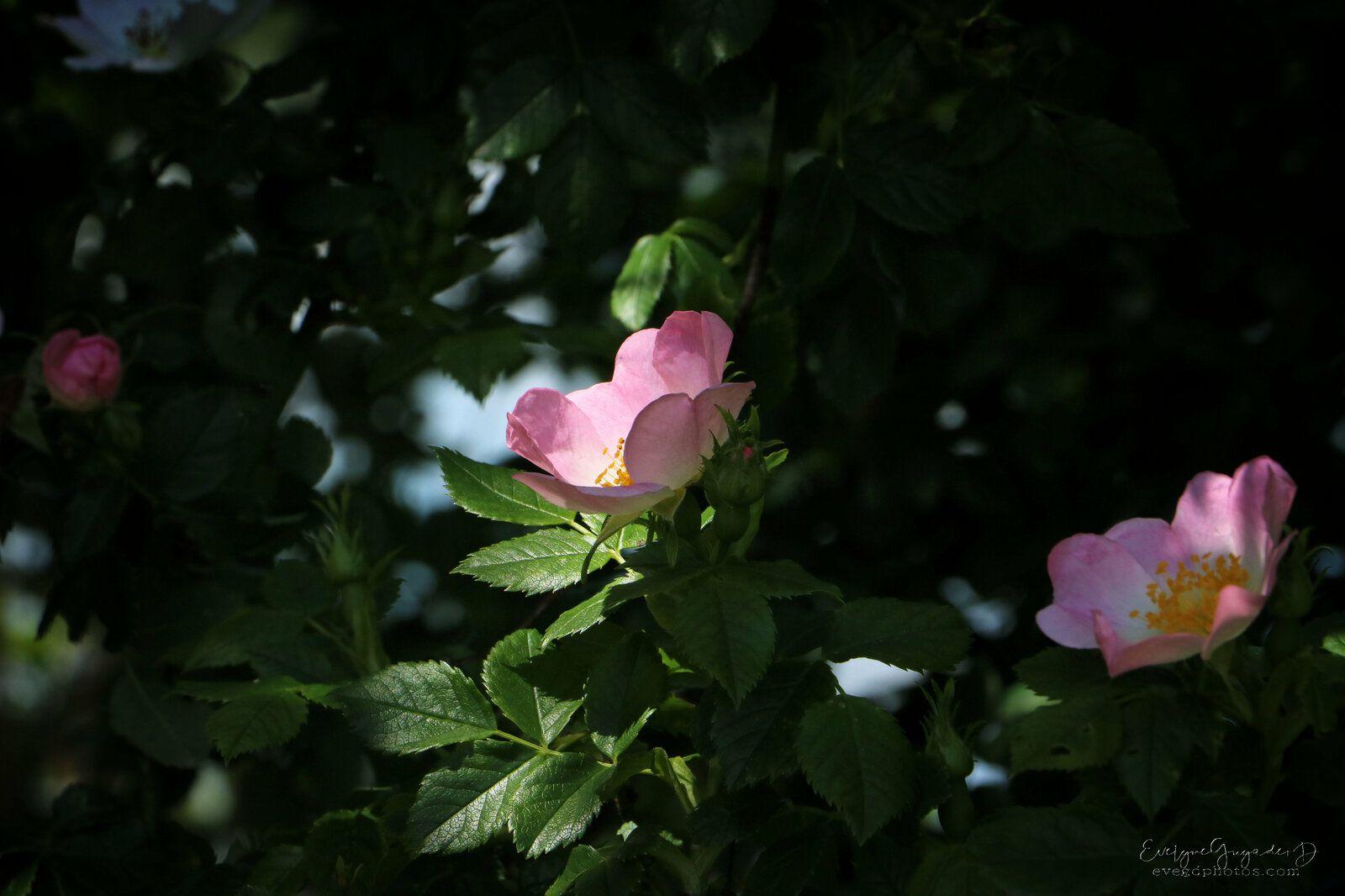 Rose Tendresse...