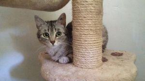 Mirabel, chatte d'un an, à l'adoption -> adoptée