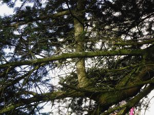 L'arbre dans lequel poussent des arbres ... à Kermoysan