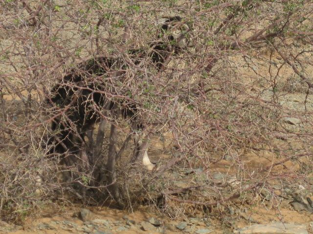 Tout au long de cette route, à une voie centrale bitumée, qui mène d'Amtoudi à Tata, nous pouvons admirer de magnifiques oasis et  quelques specimens de la faune locale, les dromadaires, les chèvres dans les arganiers, etc. Le soir visite de Tata avec sa grande place  principale, son souk.