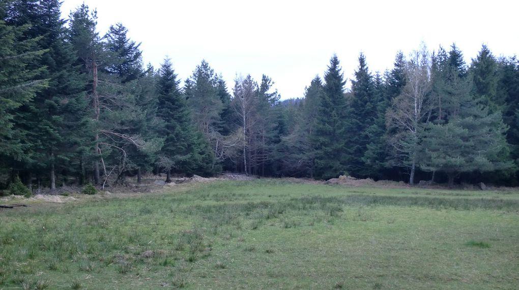 """Avant d'atteindre le Col de la Wetzlach, nous traversons une impressionnante clairière, fréquentée par le gibier (cervidés...). La présence de miradors et de nombreuses crottes (""""fumées pour les cerfs ou  moquettes pour les chevreuils), confirme nos pensées."""