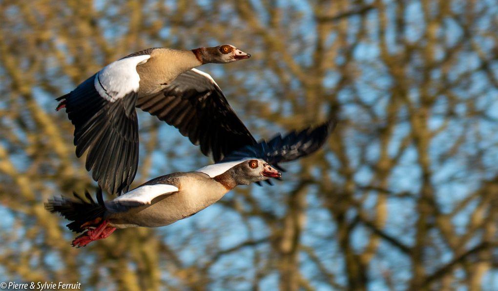 Ouette d'Égypte (FR) - Egyptian Goose (EN) - Nijlgans (NL) - Alopochen aegyptiaca