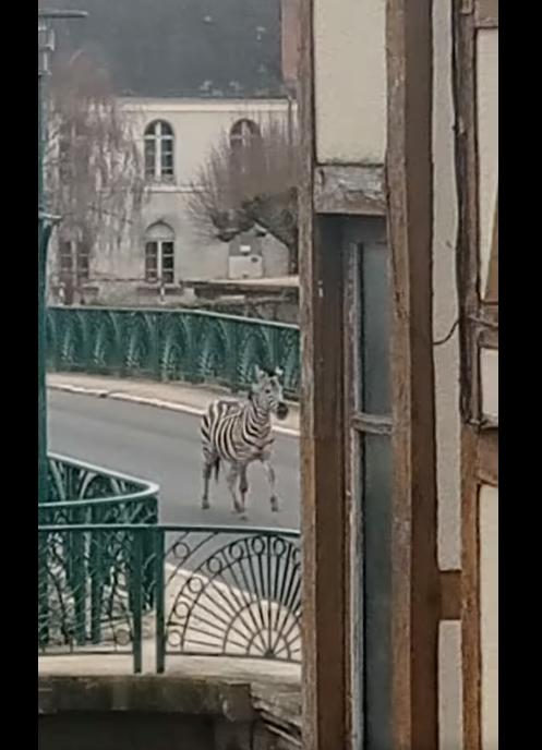 Un zèbre sur le pont Voltaire à Vierzon !