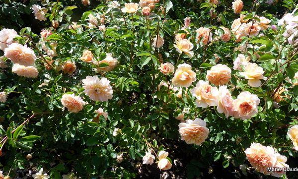 Une teinte abricotée, plus claire sur les bords pour ce rosier lumineux 'Port Sunlight créé en 2007, au parfum de thé,très résistant aux maladies, un grand rosier de 1,50m à placer en fond de massif,