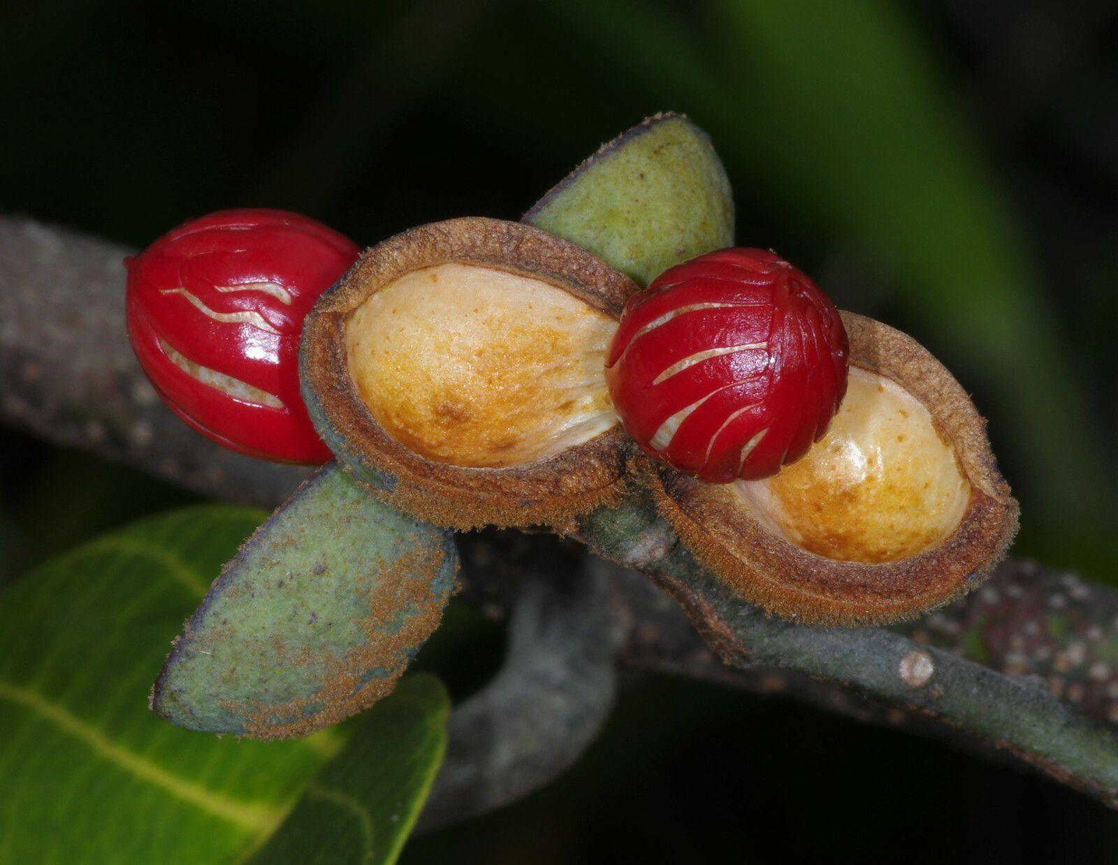 Virola sebifera (yayamadou)