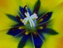 Coeur de tulipe