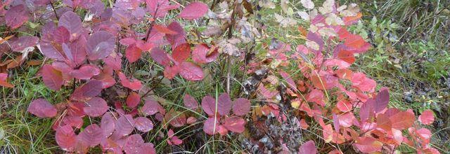 L'arbre à perruques, un arbuste fréquent sur terrain calcaire