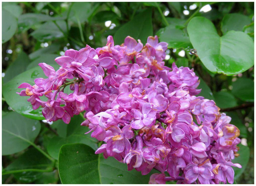 Les fleurs du jardin au printemps