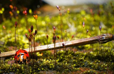 Nature - Campagne - Coccinelle - Photographie - Wallpaper - Free