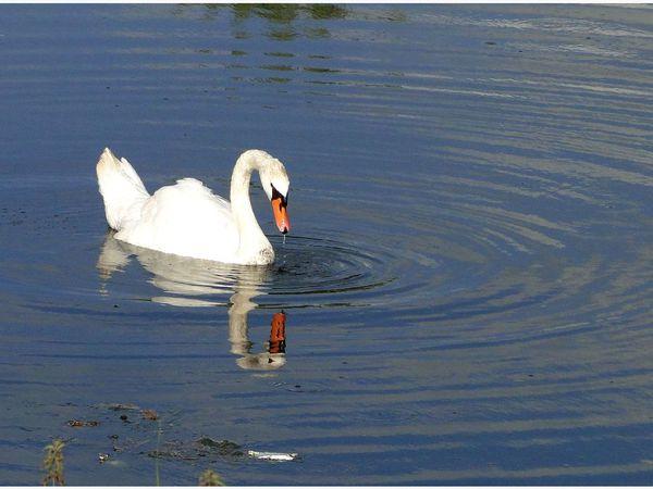 Un cygne qui semble regarder son reflet... - 4 photos
