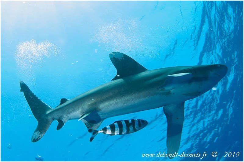 Un requin longimane accompagné d'un poisson pilote(Naucrates ductor). Le poisson pilote ne guide pas le requin,comme onle pensait autrefois, ilprofitede l'onde de proue créée par la nage de cedernier ,des restes de repaset de la protection de son hôte.