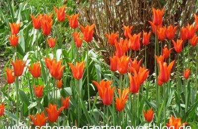 ดอกติวหลิป - Tulpen